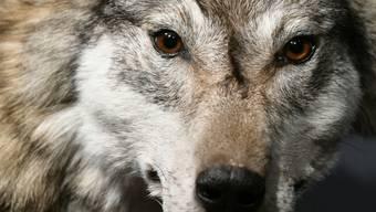 Wolf unter Verdacht: Nach mehreren Rissen in der Zentralschweiz sind Tierhalter alarmiert. (Symbolbild)