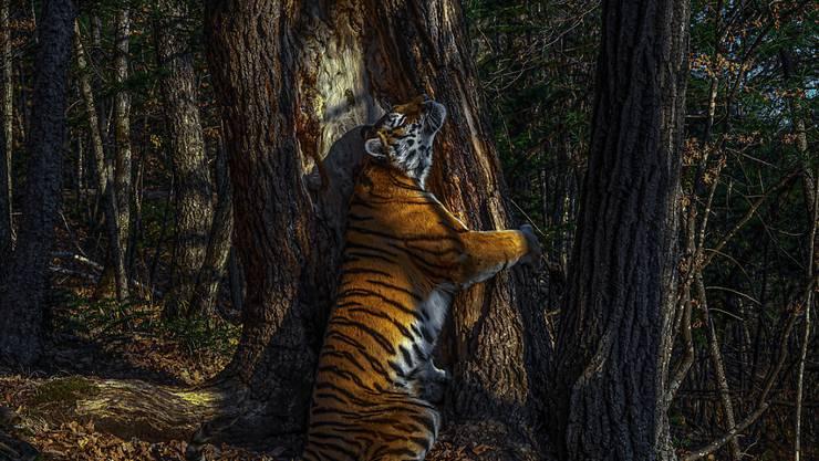 HANDOUT - Die Aufnahme des russischen Fotografen Sergej Gorschkow zeigt einen weiblichen sibirischen Tiger, der der einen Baum umarmt. Das Foto hat den Grand Title Award im Rahmen des Wettbewerbs Wildlife Photographer of the Year 2020 gewonnen. Foto: Sergej Gorschkow/Wildlife Photographer of the Year/Press Association/dpa - ACHTUNG: Nur zur redaktionellen Verwendung im Zusammenhang mit der aktuellen Berichterstattung über den Fotowettbewerb. Das Foto darf nicht verändert und nur im vollen Ausschnitt verwendet werden. Nur mit vollständiger Nennung des vorstehenden Credits. Maximal 15 Bilder pro Publikation. Keine Archivierung. Keine Verwendung auf Titelseiten ohne Rücksprache mit /Wildlife Photographer of the Year.
