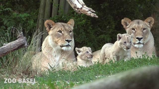 Junge Löwen im Zoo Basel