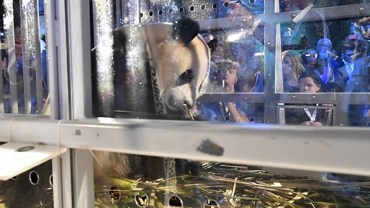 Die beiden Pandas Wu Wen und Xing Ya wurden bei ihrer Ankunft in den Niederlanden begeistert empfangen. Die Tiere sind eine Leihgabe aus China. Pandas sind bedrohte Tiere und werden in ihrer Heimat besonders geschützt.
