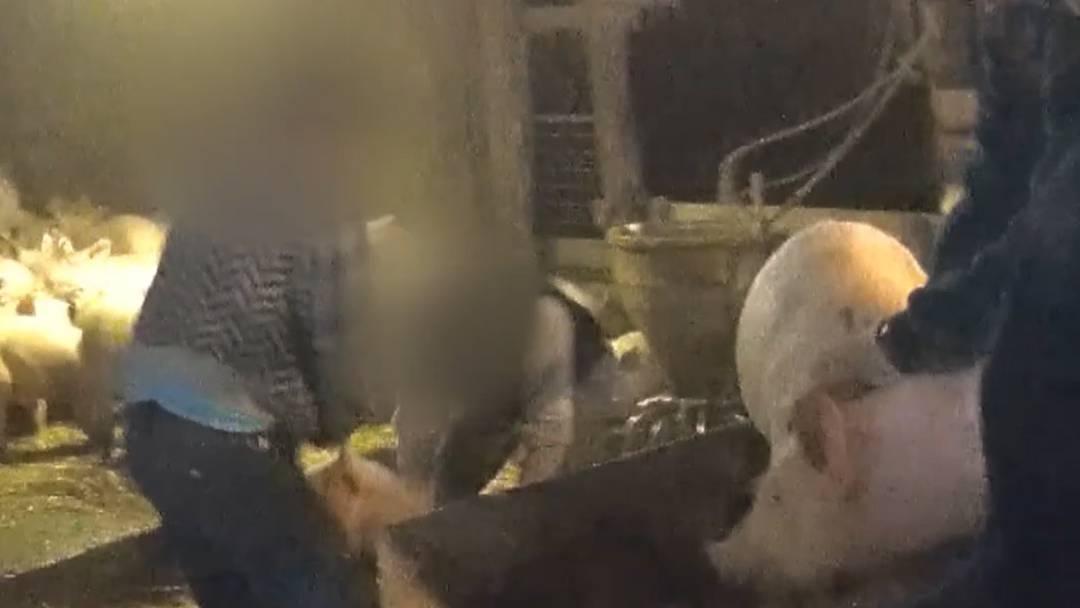 Bauer im Solothurner Jura misshandelt Schweine – SRF veröffentlicht Video