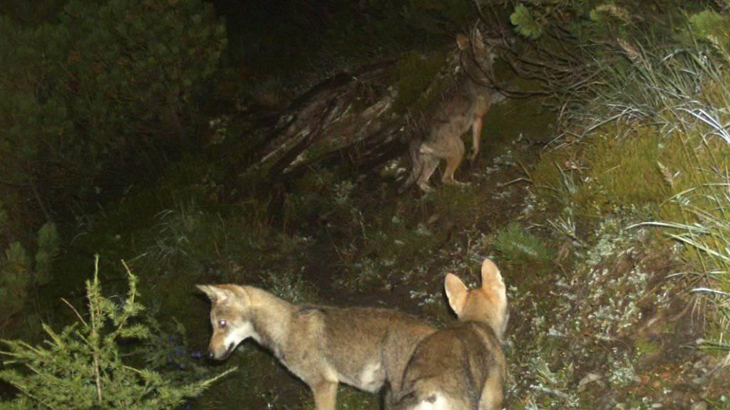 Ein Jungwolf ist in Graubünden in den Tod gestürzt. Ob es sich um ein Tier aus dem Calandarudel (Archivbild) handelt, ist unklar.