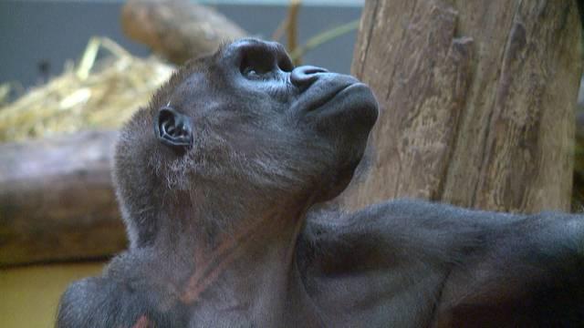 Gorilla-Weibchen Mamitu 41-jährig verstorben