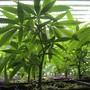 In vielen US-Bundesstaaten wurde der Cannabis-Handel legalisiert. (Symbolbild)