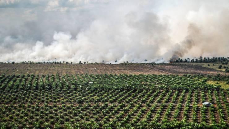 Brandrodung in Südostasien schafft Platz für noch mehr Ölpalmen. (Archivbild)