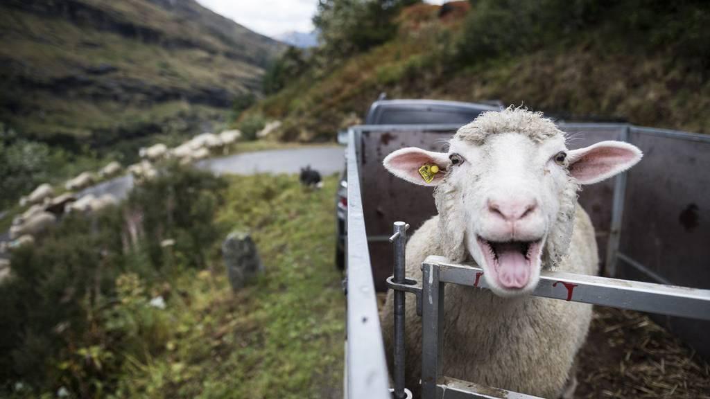 Besserer Schutz von Schafen gefordert