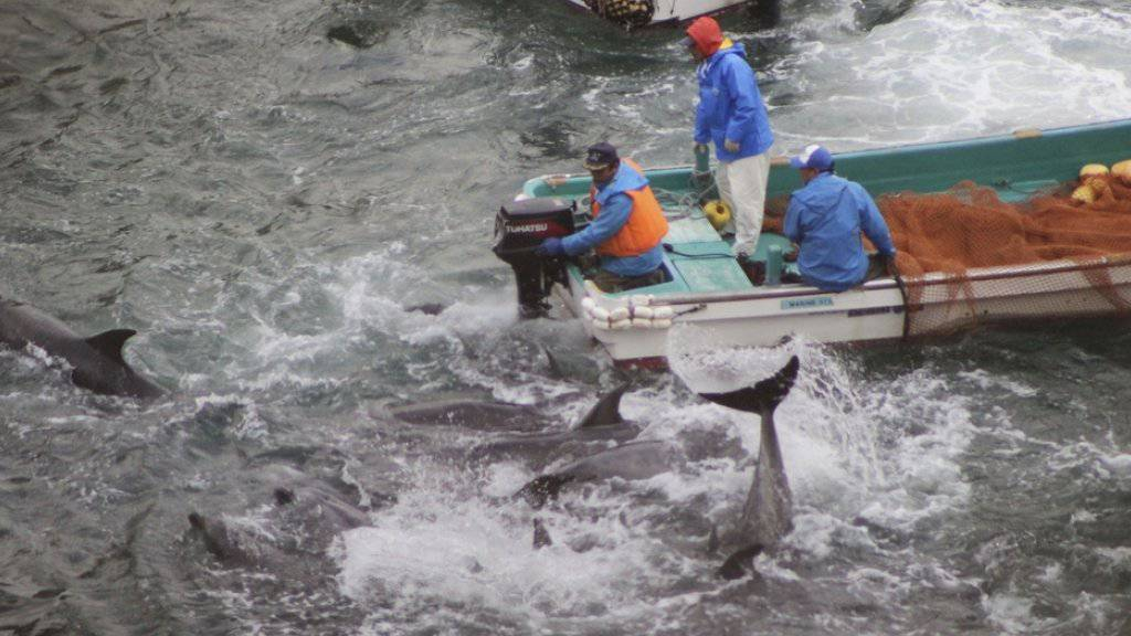 Die japanischen Delfinjäger sortieren zunächst aus, bevor sie diejenigen Tiere töten, die sie nicht an Aquarien verhöckern können. (Archiv)