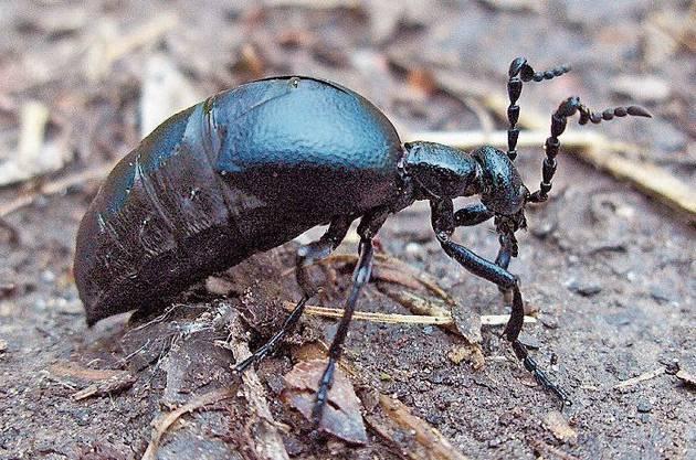 Insekt: der Schwarzblaue Ölkäfer.