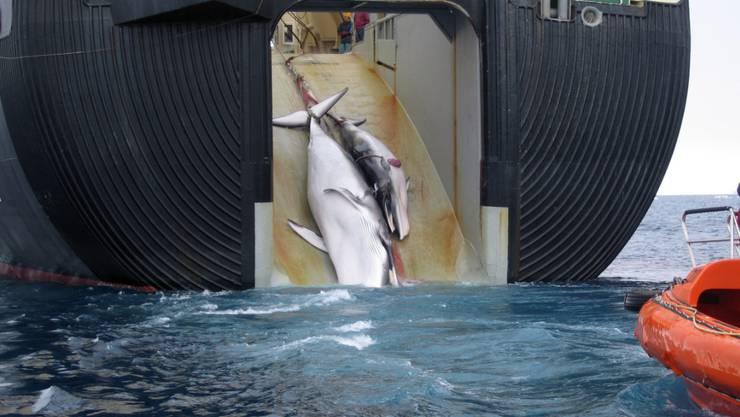 Getötete Zwergwale an Bord eines japanischen Schiffs im antarktischen Meer. (Archivbild)