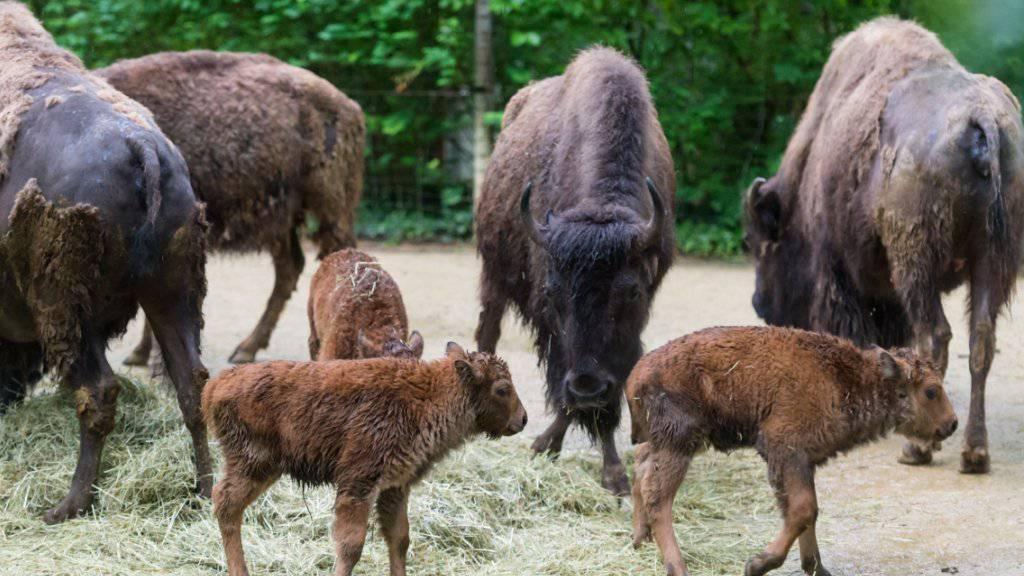 Im Zoo Basel sind drei Bisons auf die Welt gekommen - so viele wie noch nie in einem Jahr.
