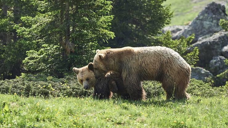 Die beiden Bären Napa und Amelia beschnuppern sich am Montag, 1. Juli 2019, im Bärengehege des Arosa Bärenland.
