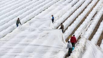 Erdbeertunnels auf den Feldern können mit Vliesfolie geschützt werden.