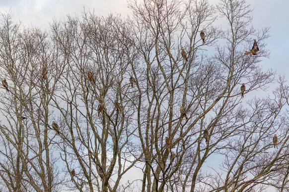 Mitten im Winter weilen zahlreiche Rotmilane in einer Baumkrone in der Schweiz.