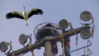 Seit Jahren brüten auf den Lichtmasten vom Zofinger Fussballplatz Störche. Da die Masten saniert werden mussten, mussten sich die Vögel einen neuen Brutplatz suchen. Jetzt erhalten sie ein neues Liebesnest.