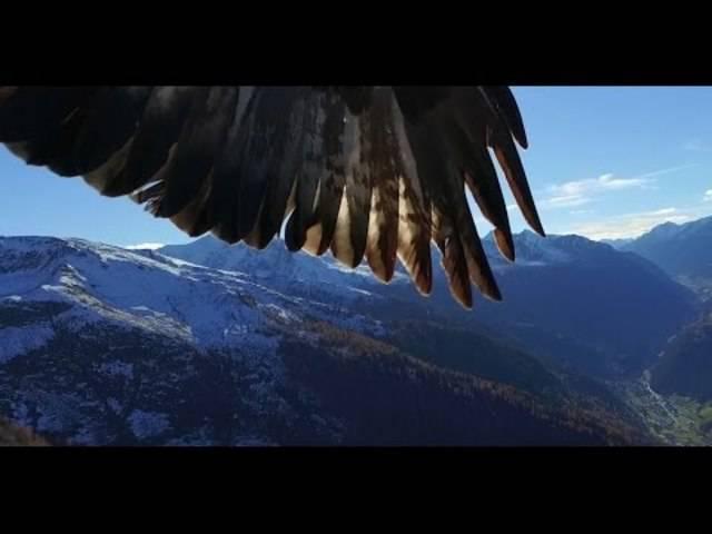 Auch in der freien Wildbahn haben Adler etwas gegen Drohnen.