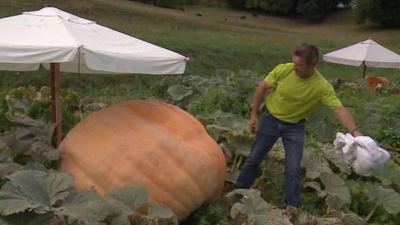 Die 600 Kilo Kürbisse von Guido Hufschmid leiden an Wassermangel