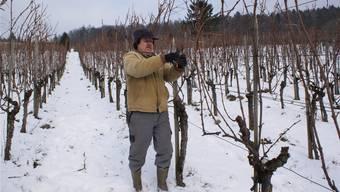 Weinbauer Peter Vogler schneidet doppelt so viele Triebe an, wie sonst üblich.Fotos: Katja Landolt