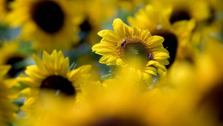 So sind die Sonnenblumen noch längst nicht reif für die Ernte