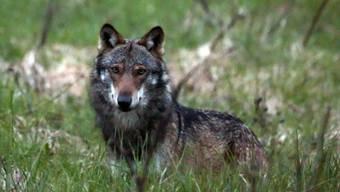 Ein Wolf bei Bellwald im Goms - zurzeit leben gemäss Bundesamt für Umwelt 25 bis 30 dieser Tiere in der Schweiz.