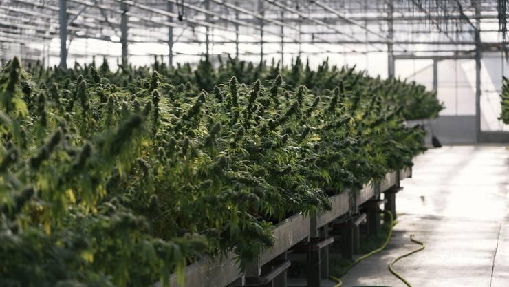 Inzwischen pflanzt der Beschuldigte CBD-Pflanzen an, die unter anderem für medizinische Zwecke verwendet werden. (Symbolbild)