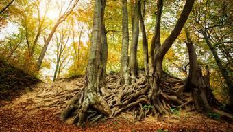 Unter der Erde tauschen Bäume miteinander Nährstoffe und Informationen aus – und leben symbiotisch mit Pilzen, ohne die viele Bäume nicht gross werden könnten. (Symbolbild)