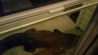 Als ihm der Wildhüter das Lasso umlegt, kommt plötzlich Bewegung in das Reptil.