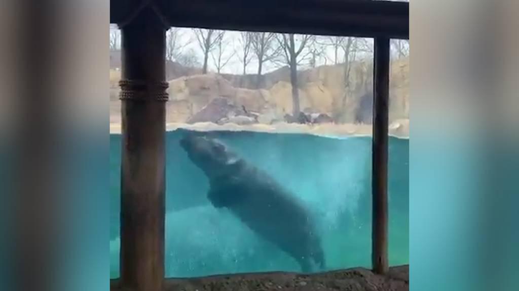 Flusspferd Fiona hält sich für einen Delfin