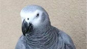 Der ausgebüxte Papagei Moody.