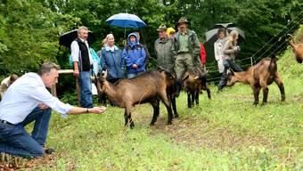In Holderbank grasen Ziegen an besonders steilen Hängen und pflegen so die Umgebung an Stellen, wo die Bauern nicht hinkommen