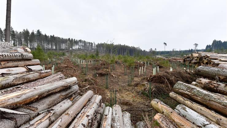 Ein Bild der Verwüstung: Das Gebiet Stelli in Kestenholz ein Jahr nach Burglind. Bild: Bruno Kissling (Kestenholz, 15. April 2019)