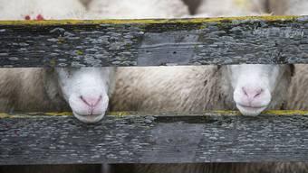 Ein Schaf stirbt nach einem tragischen Unglück – sein Halter wehrt sich gegen eine Verurteilung wegen Tierquälerei. (Symbolbild)