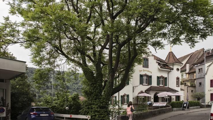 Die Profilstangen links zeigen, wie nahe der Rebgarten-Neubau an den Götterbaum zu stehen kommen soll.