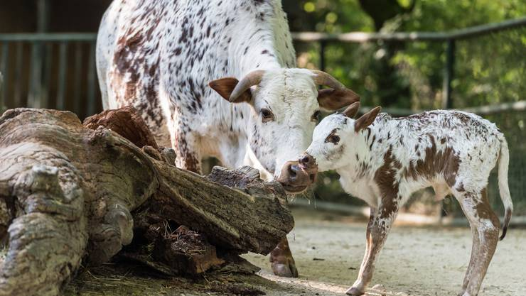 Am 14. April brachte die 5-jährige Mutterkuh Conny das Stierkalb zur Welt.