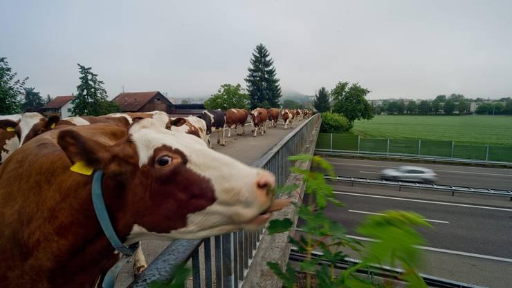 Autobahnkühe: Gemächlich trotten diese Kühe allmorgendlich über diese A1-Brücke in Suhr.