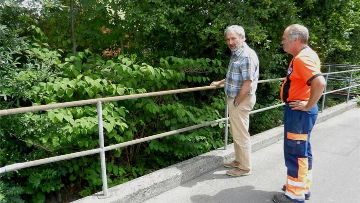 Bauverwalter Thomas Leimer und Werkhofchef Bruno Meister sind besorgt: Hier frisst der Knöterich die Blocksteine der Bachverbauung weg.