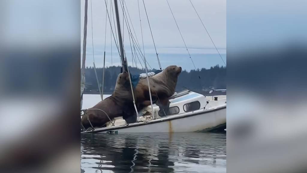 Schiff ahoi! Abenteuerlustige Seelöwen kapern Segelboot