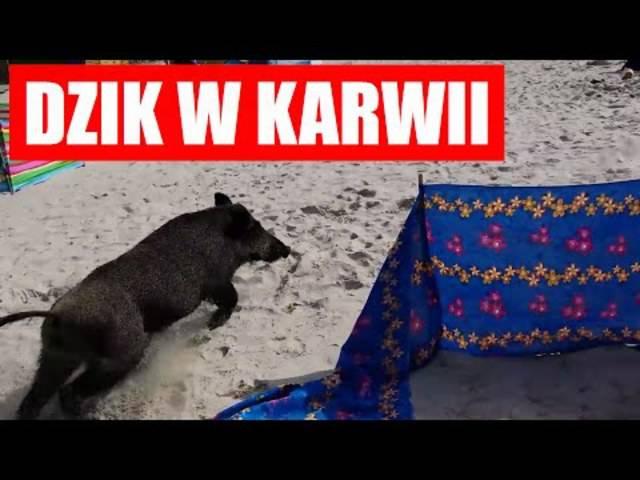 Dieses Video zeigt, wie das Wildschwein schliesslich den Ausgang findet.