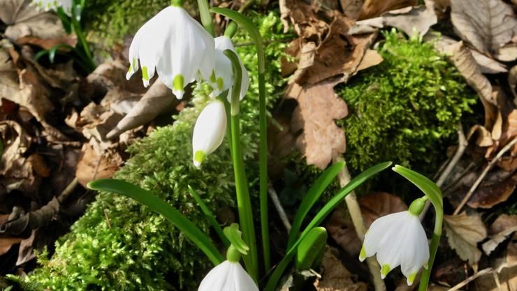 Märzenbecher als Frühlingsboten