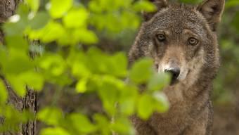 Angst vor dem Wolf: Über 3000 Personen in Uri unterschreiben eine Initiative, die vom Kanton mehr Schutz vor Grossraubtieren verlangt. (Symbolbild)
