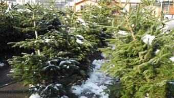 Schon bald werden viele der nadeligen Gesellen weihnachtlich geschmückt in den Stuben stehen. mf