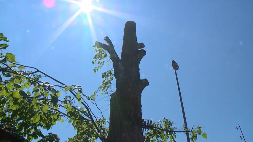 Bäcker fällt Baum: Grosser Streit um illegal gefällte Linde in Hinwil