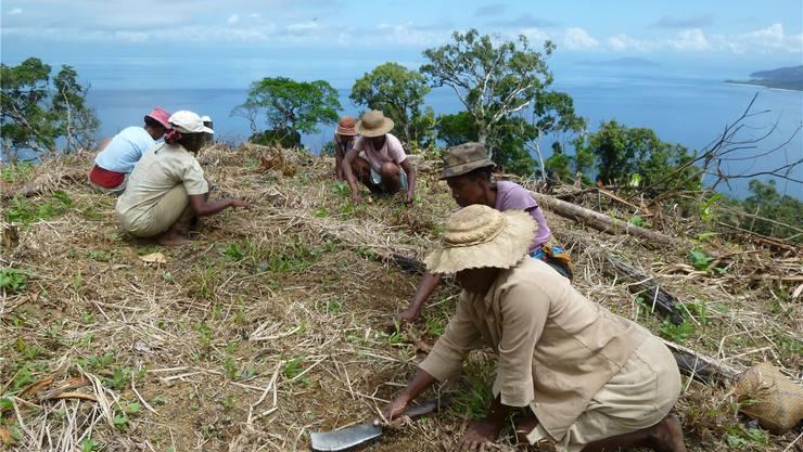 Das Bewirtschaften der Felder ist für die Kleinbauern auf Masoala mit viel beschwerlicher Handarbeit verbunden.