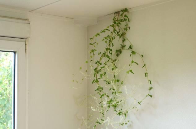 Natur pur? In den Räumen wächst Efeu durch die Wände