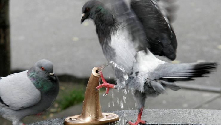 Die Stadt Thun lässt kranke Tauben abschiessen