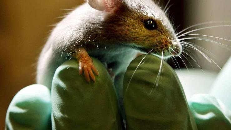 2011 wurden in der Schweiz über 400000 Mäuse für Tierversuche verwendet. keystone