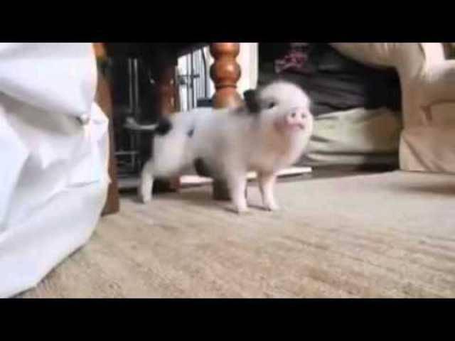 Mini-Schwein wackelt zu Rihannas «Work»