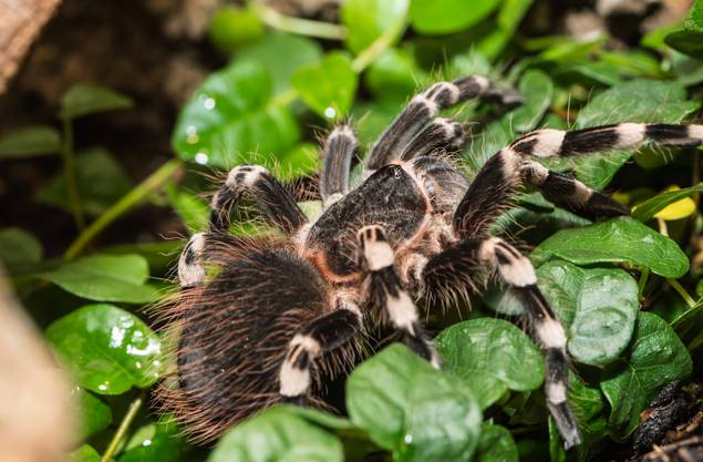 Bis zu 12 Zentimeter Körperlänge und einer Spannweite von 30 Zentimeter können Vogelspinnenarten erreichen. Der Biss der meisten Arten ist zwar schmerzhaft, aber harmlos. Einige wenige Arten können gefährlich sein. Die Leibspiese von Vogelspiennen sind Insekten, Echsen, Mäuse und Vögel.