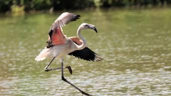 Flamingos auf dem Flachsee bei Bremgarten