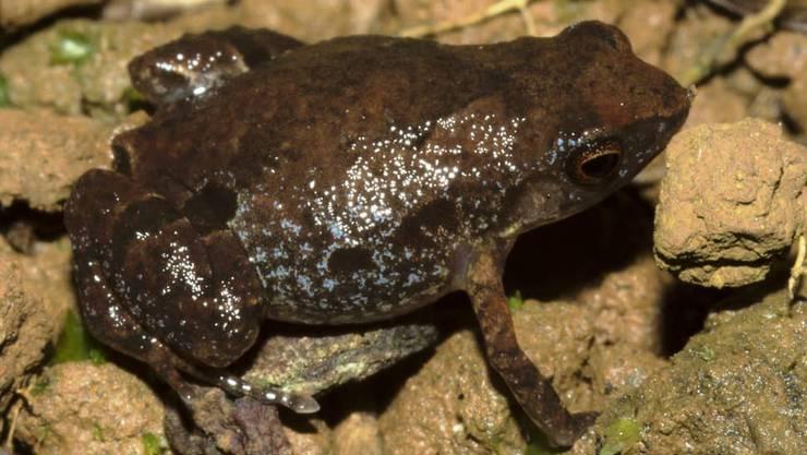 Dieser von Schweizer Forschern neu entdeckte kleine Frosch in Madagaskar ist bereits vom Aussterben bedroht.