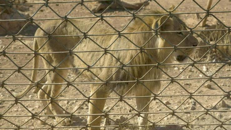 """Einer der abgemagerten Löwen, die zusammen mit anderen Tieren von der Tierschutzorganisation """"Vier Pfoten"""" aus einem Zoo in der Nähe der syrischen Stadt Aleppo evakuiert wurden."""